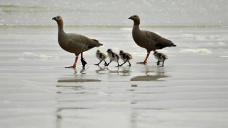 _DSC0041.Geese.Falkland islands 2