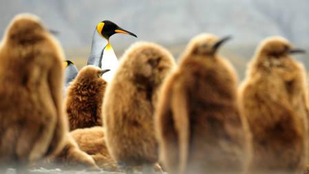 _DSC0639.King Penguins. South Georgia 2