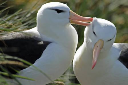 _DSC4316.Albatrosses. Falkland islands