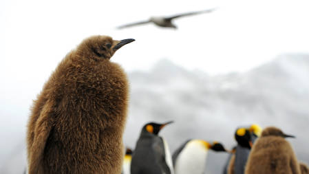 _DSC4851.King Penguins. South Georgia 2