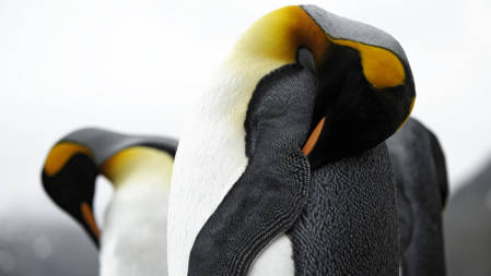 _DSC4872.King Penguins. South Georgia 2